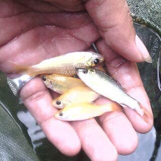 benih ikan mas