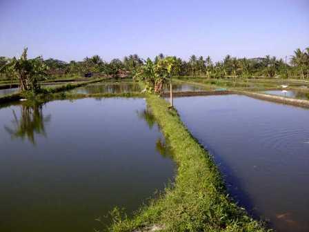 kolam budidaya ikan bawal
