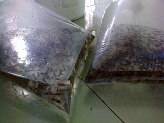 benih ikan gabus
