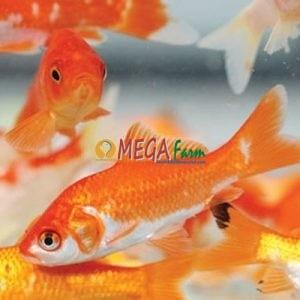 bibit ikan mas,bibit ikan Mas jenis Majalaya,Najawa (Merah)