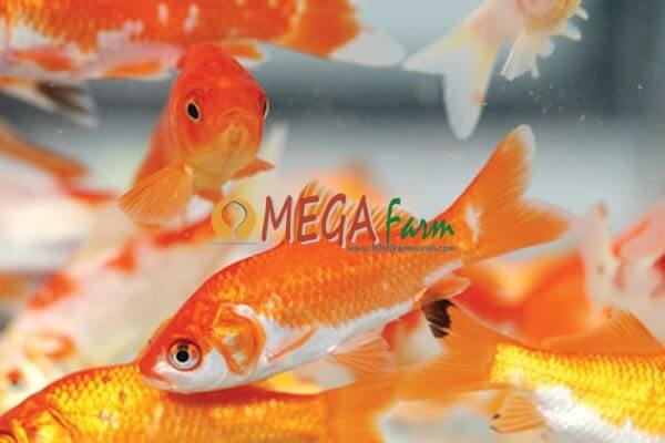 Jual Bibit Ikan Mas Jenis Unggulan Untuk Dibudidayakan