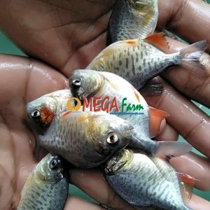 Bibit Ikan Bawal murah berkualitas unggul
