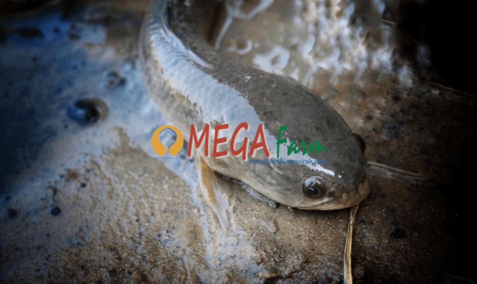 bibit ikan gabus murah berkualitas