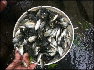 bibit ikan nila,ikan nila,bibit nila,bibit ikan nila murah