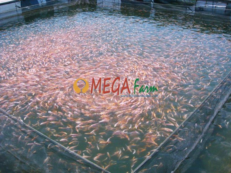 peternak ikan air tawar