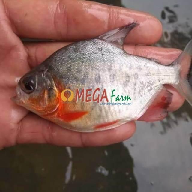 Jual Bibit Bawal Murah Berkualitas Unggul Bibit Ikan Murah Benih Bawal