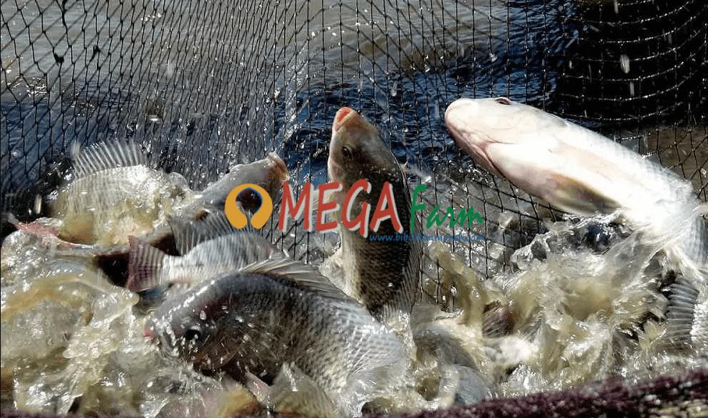 Bibit Ikan Nila Murah Berkualitas Unggulan
